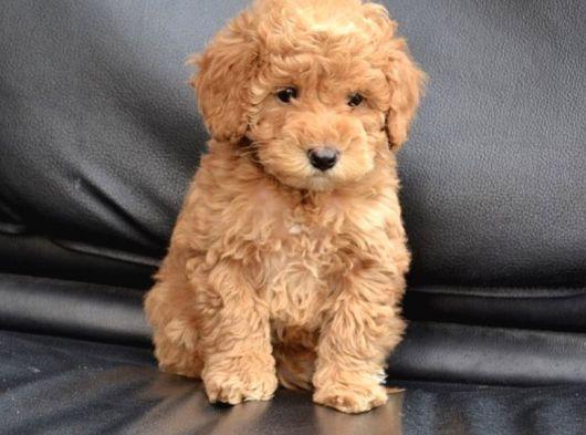 Toy Boy Poodle Yavrular
