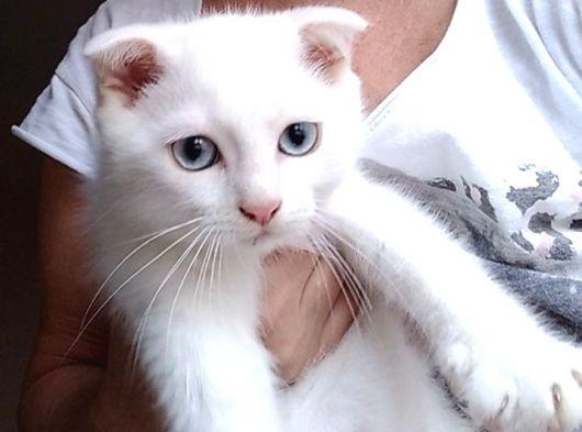 2 aylık scottishfold erkek kedimi sahiplemdiryorum