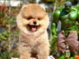 3 Aylık Erkek Orijinal Renk Yapısına Sahip PomeranianBoo Oğlumuz