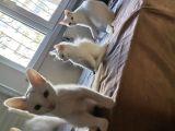 Mama parasına cins kediler