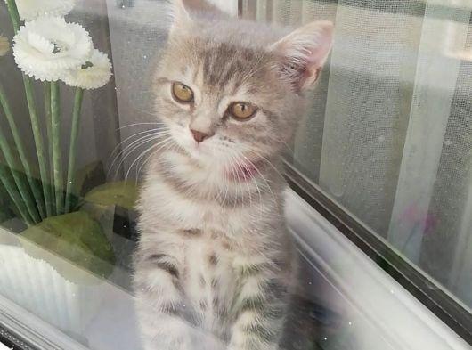 Scottish straight 2 aylık kedimiz sahiplendirme dişi