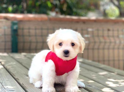 Anne Altından Maltese Terrier Dişi