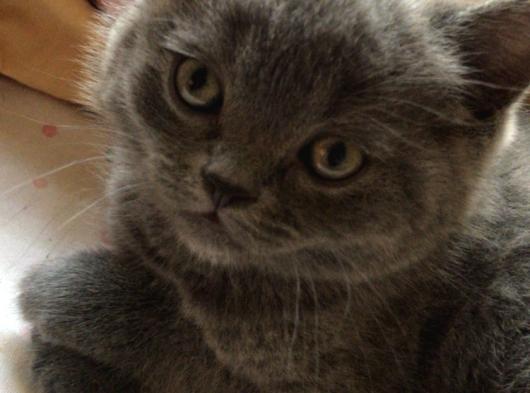 British sorthair yavru kedi