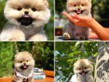 Mini boy belgeli pasaportlu ırk garantili boo Pomeranian yavrumuz