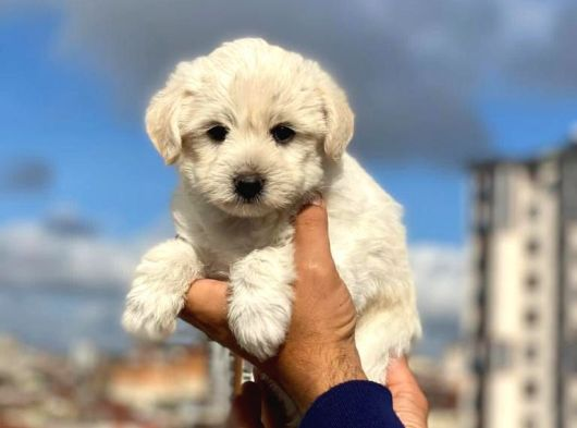 Anne Altından Maltese Terrier Erkek