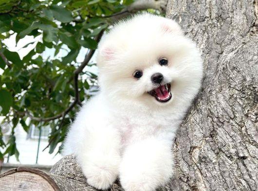 Secere Sertifikalı Kar Beyazı PomeranianBoo Oğlumuz