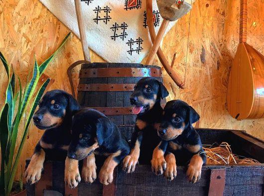 Sevimli Rottweiler yavrular