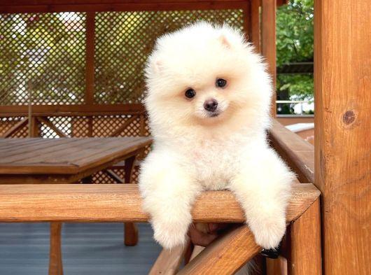 Kaliteli Tüy Yapısına Sahip Beyaz Köpek Lesi