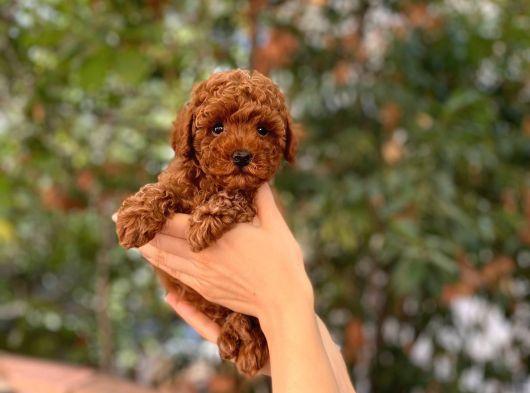 Dişi Red  Brown Toy Poodle