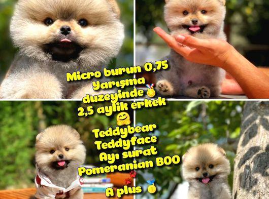 0,90 Mikro burun Ödül Adayı Safkan Boo Pomeranian @yavrupatiler