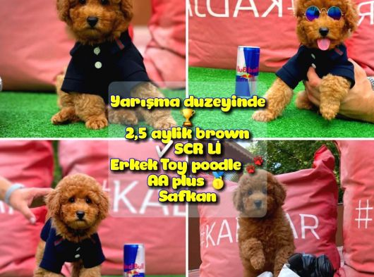 Orjinal renk Safkan Red Brown Toy poodle Ödüle aday @yavrupatiler