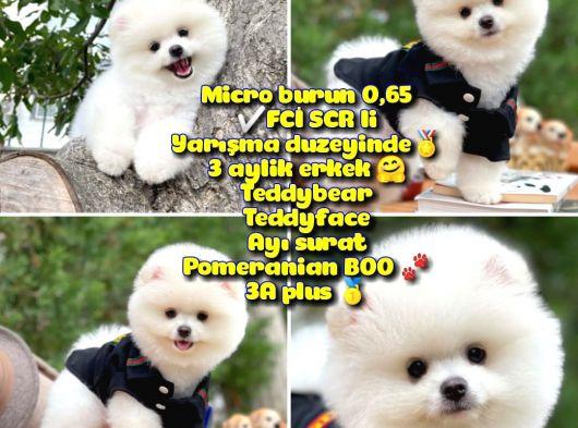 FCI SCR Lİ 0,75 Mikro KÜT burun Ödül Adayı Safkan Boo Pomeranian @yavrupatiler