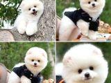 Fci secereli yarışma düzeyi boo Pomeranian yavrumuz