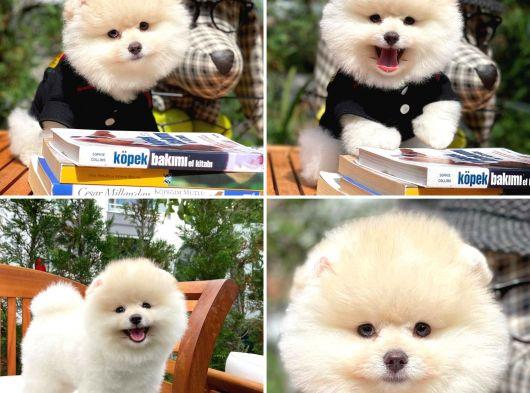 Krem Pomeranian Boo Yavrularımız