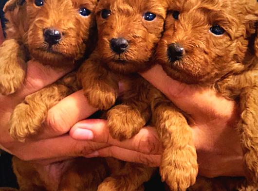 Anne altından orjinal Red brown Toy Poodle