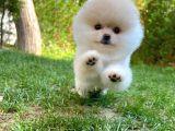 3 Kat Tüy Yapısına Sahip Pomeranian Kızımız