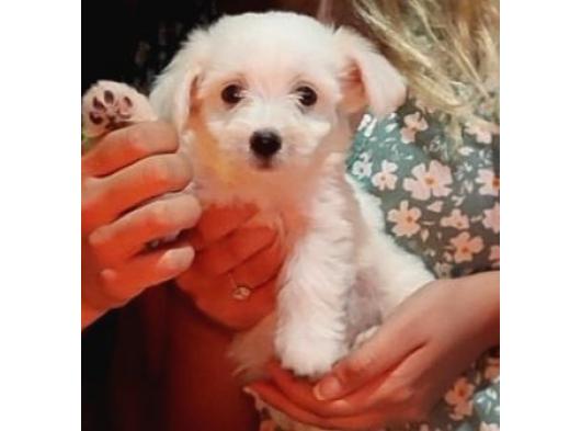 3 Aylık Yavru maltese terrier