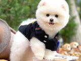 Pomeranıan Teddybear Mini boy