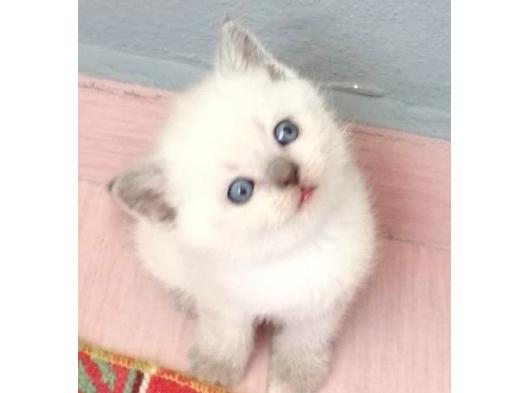 Blue point ve lilac bebekler