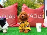 Mini boy safkan ırk garantili belgeli toy poodle yavrumuz