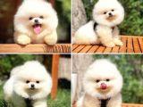Muhteşem tüy ve surat yapısına sahip ırk garantili boo Pomeranian yavrumuz
