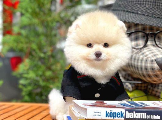 Güzelliği ile göz dolduran erkek süs köpeği