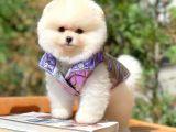 Muhteşem Tüy Yapısına Sahip Beyaz renkli dişi köpek