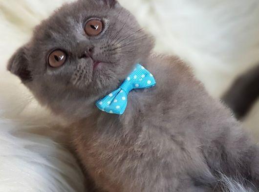 Tüy yumağı sevimli scottish fold yavrumuz