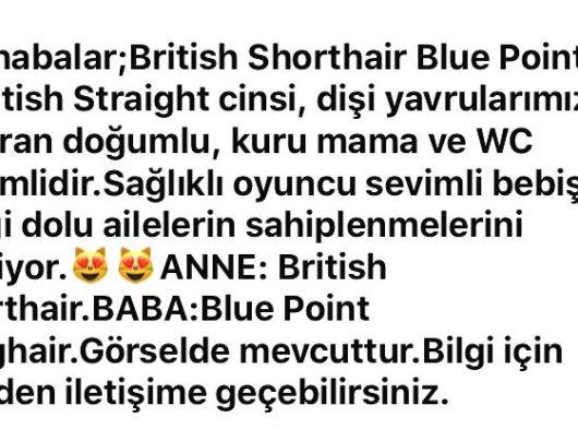 3 aylık british shorthair blue point. İstanbul
