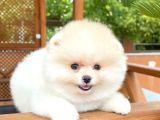 3 Aylık Kar Beyazı PomeranianBoo Kızımız