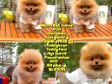 0,60 Mikro Küt Burun Teddyface Ödül Adayı AA Plus Safkan Boo Pomeranian