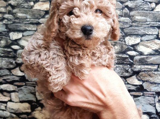 Tüy yumağı sevimli light Red Toy poodle