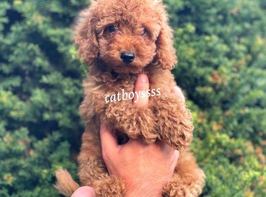 Red toy poodle erkek yavru @catboyssss da