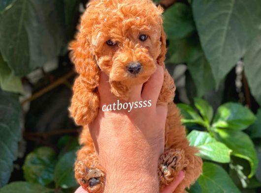 Sevimli diş red toy poodle yavrumuz @catboyssss da