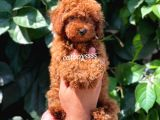 Mükemmel red brown toy poodle erkek yavru @catboyssss da