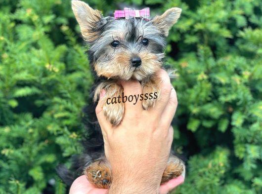 Mini dişi yorkshire terrier yavru @catboyssss da