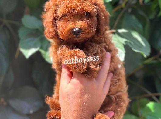 Safkan red brown toy poodle erkek yavru @catboyssss da