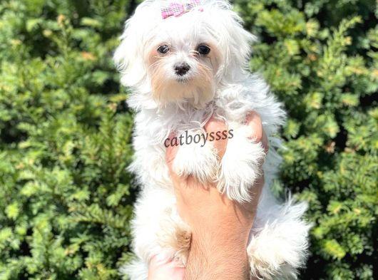 Kore kan dişi maltese terrier yavru @catboyssss da