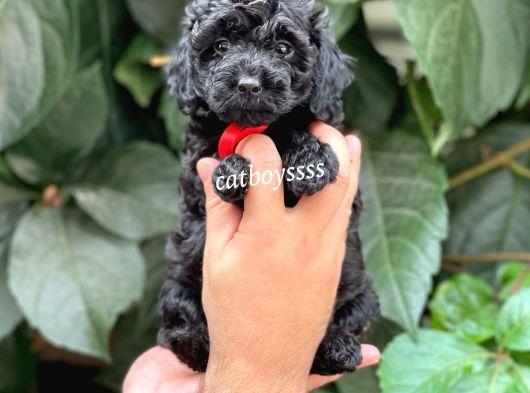 Black siyah inci toy poodle yavrular (Dişi,erkek)
