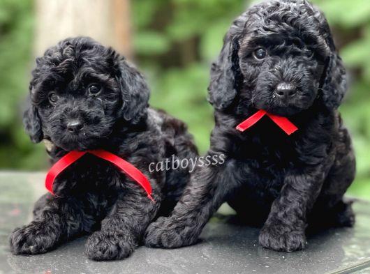Siyah inci black toy poodle yavrularımız (Dişi,erkek)