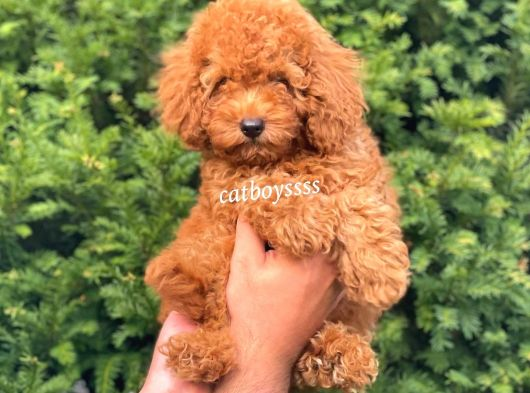 Sevimli red toy poodle erkek bebek @catboyssss da