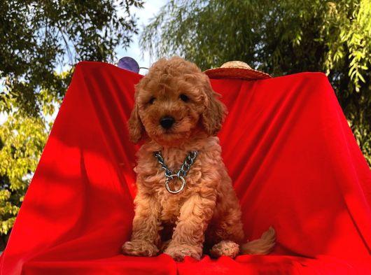 Bebek Surat Wc Eğitimli Mikrocipli Toy Poodle