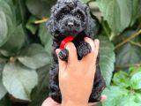 Tüy yumağı sevimli Black toy poodle