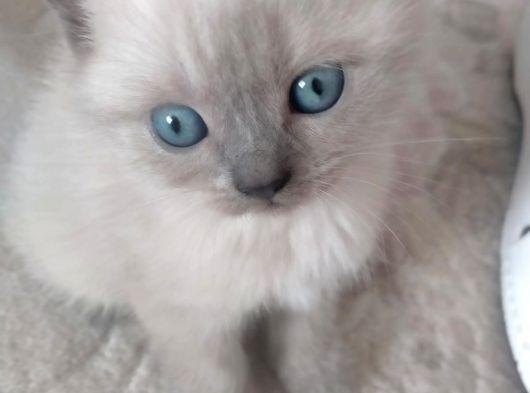 british shorthair yavru kedi