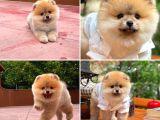 TeddyFace Pomeranian Boo Yavrumuz