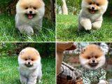 Orjinal Safkan Belgeli Pomeranian Boo Yavruları