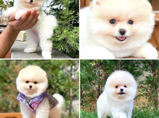 Ayı Surat Pomeranian Boo Yavrumuz  PosH