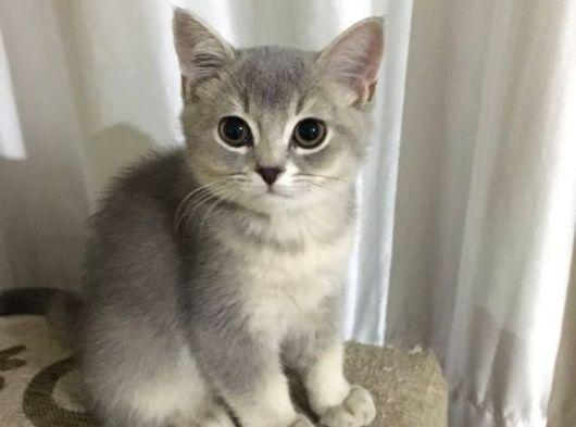 British silver erkek kedi
