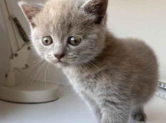 Nadir renkte british kedi yavrusu