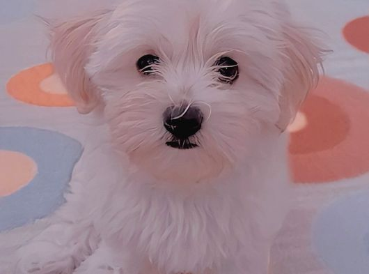 3 Aylık Orjinal Maltese Terrier